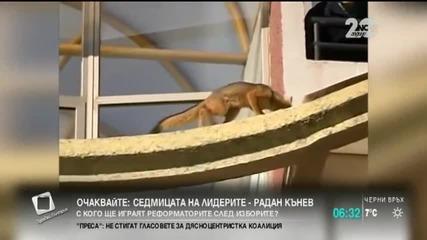 Лисица побърка полиаии пожарникари (видео)
