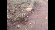 Габренски Кокошки ходят без глави