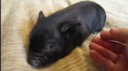 Малко прасенце обича да го галят!