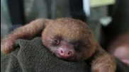 Събуждане на ленивец