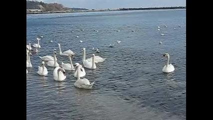 Лебеди 004