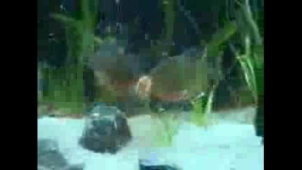 Пирани Нападат Златна Рибка