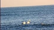 Прекрасни лебеди в близост до Златни пясъци 13.01.13г. -01