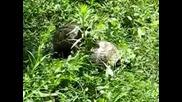 Костенурки правят секс в градината на Бааааа ми :