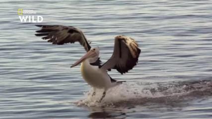 Австралийските пеликани