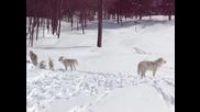 Красиви арктически вълци вият