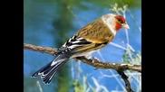 Птици - хибрид песен...!!!