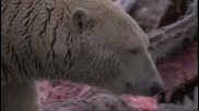 Белите полярни мечки - Решителноста за живот..