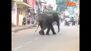 Побеснял слон смачка човек