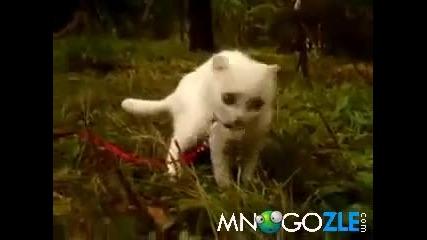 Коте с луда реакция