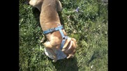 The Dog / Walk princess/ Pitbull