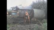 Glodjevo dogs