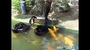 Лебеди хранят рибки.