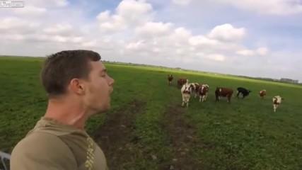 Как фермер събира кравите си