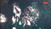 Гърбави китове, заснети от дрон
