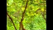 Маймуна Се Закача С Тигри / маймуна камикадзе