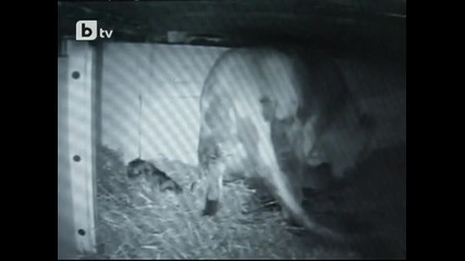 Охранителна камера заснема раждането на две лъвчета