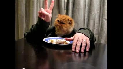 Персийска котка в човешко тяло яде риба