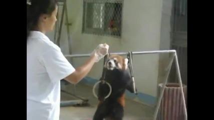 Пандата е изверг на анаболи