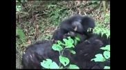 Бебета горили се радват на свободата в национален парк в Руанда