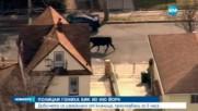 Полиция в зрелищно преследване на бик