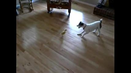 Куче срещу патенце