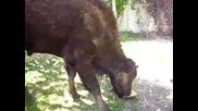 Бизон яде диня :)