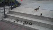 Патица търпеливо изчаква малките си да се изкачат по стълбите