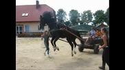Какво се случва когато един кон не е бил впряган никога