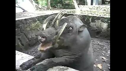 Много грозно прасе яде щоколад...