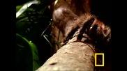 Тарантулата Голиат Най-опасния паяк