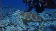 Водолази тормозят морска костенурка
