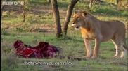 трима мъже срещу 15 гладни лъва