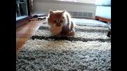 Коте дъвча сутиен