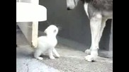 Малко Коте Си Играе С Хъски