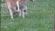 Малко бебе кенгуро излиза на бял свят !