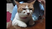 Котка Говори Японски!