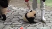Сладко малко мече панда не оставя фотограф намира!смях!заслужава си!