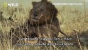 От какво се състои един прайд | Лъвско братство: Пътят на царете | NG Wild Bulgaria