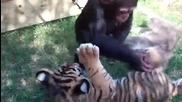 Бебета шимпанзе, тигърче и вълк си играят в приют!