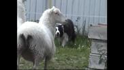 Чампис лудия овчар