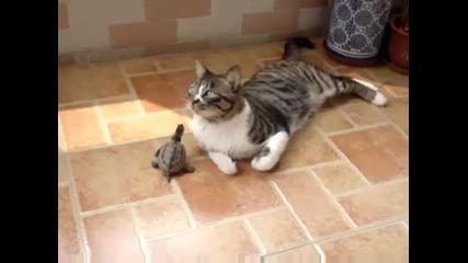 Костенурка се закача с котка