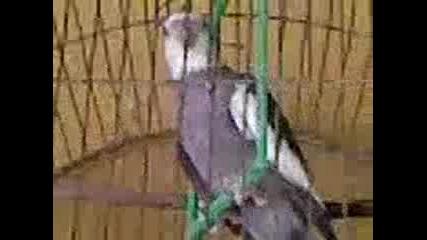 папагалче