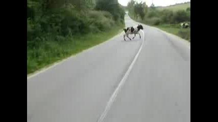 Как Крави Ми Изскочиха На Пътя С Мотора