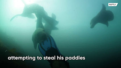 Sneaky sea lions attemptto snatch diver's paddles and camera