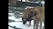 Kangal, Турски Кангал, Www.dog - Ejdan.com