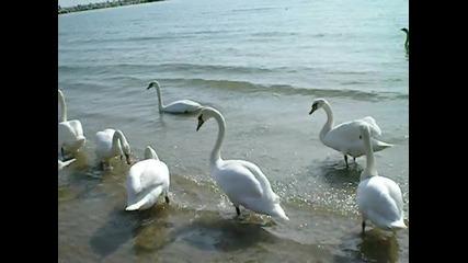 Лебеди в морето Варна 2