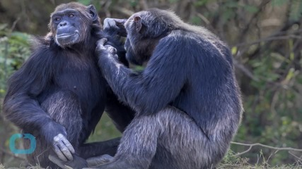 Chimpanzee Representatives Argue for Animals' Rights in New York Court
