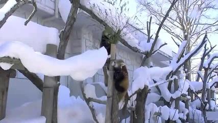 Панди играят в снега