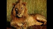 Моето изобретение, което доведе до примирие с лъвовете